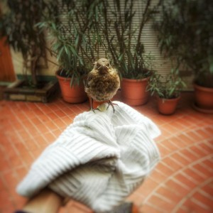 Baby bird learning to fly in our Garden - (c) Au Van